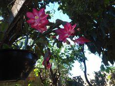 flor de maio,a orquídea do cerrado brasileiro