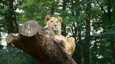 https://flic.kr/p/vwF6ia | Like a Boss | Eine Löwin nach dem Frühstück