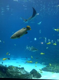 One of the Georgia Aquarium's huge fish tank. Photo by Amy Laurel Hegy @twotramps