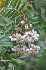 Cercis siliquastrum judasboom mooie ronde bladvorm roze bloei bomen pinterest - Draadloze bloei lamp ...