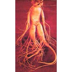 Ginseng root among the species used for pharmacological effects asian