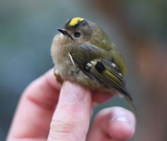 """mini fat bird--yellow-crowned kinglet.  That's all feathers and air.  And pretty sure they're still called """"golden-crowned""""."""