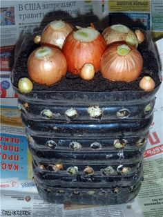 I will present you an interesting way to grow onion indoors in plastic bottles. In such a compact container you can grow more than 100 pieces of onion at the same time. Planting Garlic In Fall, Planting Onions, Onion Sprouts, Growing Onions, Soil Layers, Recycled Garden, Eating Organic, Organic Vegetables, Recycle Plastic Bottles