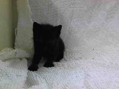 TO BE DESTROYED 6/27/14  **Baby Alert!!!  Came in with A1004210 came in without a Mom ** Manhattan Center  My name is KICO. My Animal ID # is A1004211. I am a male black domestic sh mix. The shelter thinks I am about 5 WEEKS old.  I came in the shelter as a STRAY on 06/22/2014 from NY 10473. I came in with Group/Litter #K14-183028.
