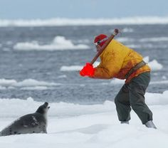 TAKE ACTION! The Canadian government is opening the commercial seal hunt early. Seal pups will starve to death without their mothers. Take action to save the seals now! Seal Hunting, Trophy Hunting, Harp Seal, Premier Ministre, Seal Pup, Animal Cruelty, Take Action, Animal Welfare, Animal Rights