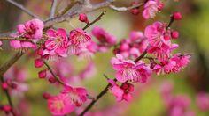 "Japanese Apricot tree in bloom - Korin's ume 光琳の梅 - location:  Shimogamo - (Kamomioya - jinja shrine),UNESCO  World Heritage Site, Kyoto, Kyoto Prefecture, Japan   This Japanese apricot tree (ume tree) is standing by a little bridge ""Sori-Hashi""輪橋 across a stream ""Mitarashi gawa"" 御手洗川in precincts of Shimogamo Shrine. And the scenery of this area was depicted in Korin OGATA painting - ""Kohakubai-zu byobu紅白梅図屏風"" (The Folding Screen of Red and White Plu..."