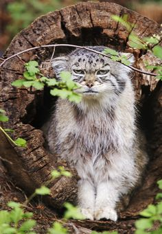 grumpy looking pallas cat | animal + wildlife photography