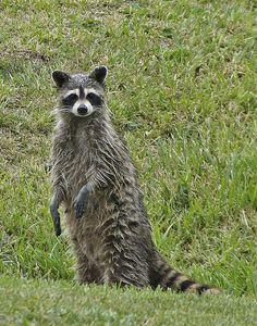 May I Borrow a Towel by Misty Dawn Seidel Misty Dawn, Opossum, Lone Ranger, Animal Masks, May I, Racoon, Otters, The Borrowers, Cute Animals