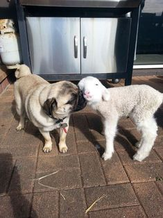 Puggy kisses to an Easter lamb