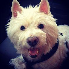 Jake---Westie love! West Highland White, West Highland Terrier, White Terrier, White Dogs, Love Memes, Rainbow Bridge, Westies, Scottie, Handsome Boys
