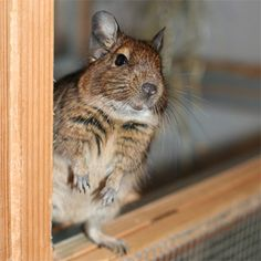 The World of Degus