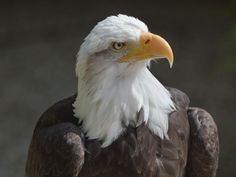 Why Bald Eagle Populations Soared in the Last Decade | Smart News | Smithsonian Magazine Powerful Pictures, Migratory Birds, Golden Eagle, Endangered Species, Animal Rights, Habitats, North America, Images, Wildlife