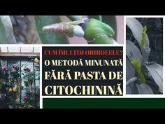 ✔️ Cum inmultim orhideele, 🔴 o metodă minunată fără pasta de citochinină minute)🌿🌹