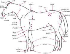 Worksheet Horse Anatomy Worksheet cut and paste horses horse anatomy on pinterest of horse