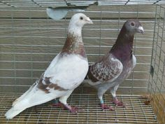 training racing pigeons the right way Two Birds, Cute Birds, Racing Pigeon Lofts, Pigeon Breeds, Homing Pigeons, Pigeon Bird, Bird Pictures, Beautiful Birds, Animal Photography
