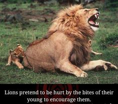 Lions pretend to be hurt while playing with their young. #lions