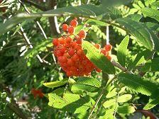 Sorbus aucuparia, Ebereschenmus,-sirup,-gurgellösung