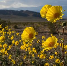 """Photo credit: National Parks Service Parts of California's Death Valley, the driest place in North America, are blanketed in wildflowers of yellow, purple, pink and white, a so-called """"superbloom"""" not seen since 2005."""