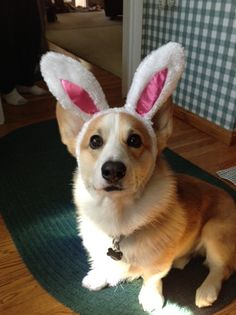 The Easter Bunny Corgi! (Introducing Cody, the Pembroke Welsh Corgi.)
