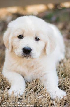 Adorable Golden Retriever Pup