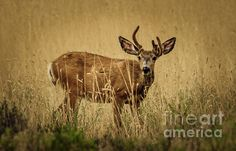 Mule Deer : http://fineartamerica.com/profiles/robert-bales/shop/all/all/all