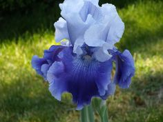 Iris (Iris 'Icelandic Sea') uploaded by Betja