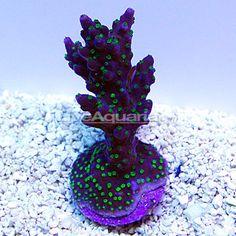 Coral Frags, Sps Coral, Coral Reefs, Coral Reef Aquarium, Marine Aquarium, Saltwater Fish Tanks, Saltwater Aquarium, Nano Reef Tank, Reef Tanks