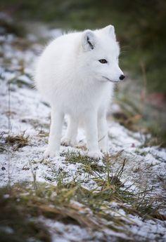 Arctic Fox by kdc123 - Kristin Castenschiold