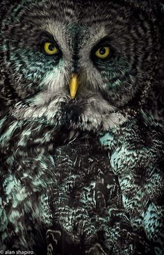 Great Grey Owl (by alan shapiro photography)