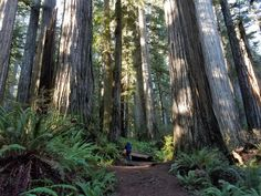 Redwood Forest, California Dreamin', Charleston, State Parks, American History, Oregon, Travel Destinations, Trail, Places To Visit