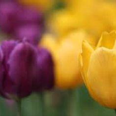 Purple and Gold Tulips - Nicko's Big Picture Purple Yellow, Shades Of Purple, Purple Gold, Green And Orange, Neon Green, Green And Gold, Red And Blue, Purple Garden, 50th Wedding Anniversary