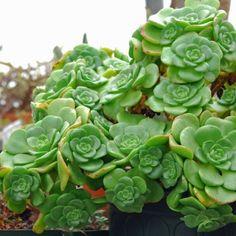 Aeonium 'Lily Pad' - Perennials - Avant Gardens Nursery & Design