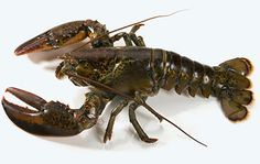 Just look at this beautiful Canadian lobster!
