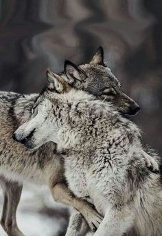 Loup 🐺🐺🐺, See the Best animal pictures from AnyCanal , These are the b. Nature Animals, Animals And Pets, Baby Animals, Funny Animals, Wild Animals, Cute Animals Images, Wolf Photos, Wolf Pictures, Pictures Images