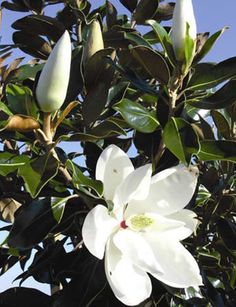 Miss my Little Gem Magnolia tree I had out front! Next house :)