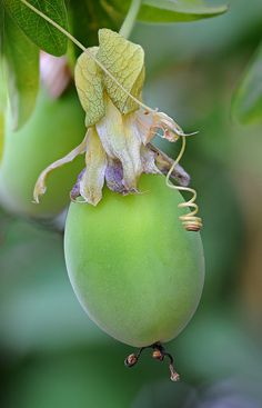 """passionfruit,"" by ohrfeus, via Flickr -- I love that the flower is still so visible top and bottom."