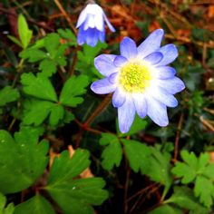 Tiny wood anenome in the shade. 14/3/2012