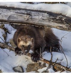 wolverine at home in the snow. Wolverine Images, Head & Shoulders, Wolverines, Brown Bear, Otters, National Geographic, Animal Kingdom, Mammals, Underwater