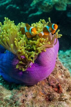 Clownfish & Sea Anemone