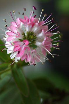 Delicate Hebe Flowers