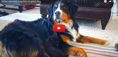 [VIDEO] Kitten Adorably Imprints On Giant Dog