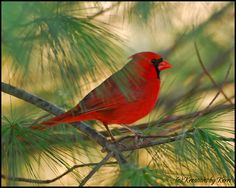 For my grandma... she loved cardinals.