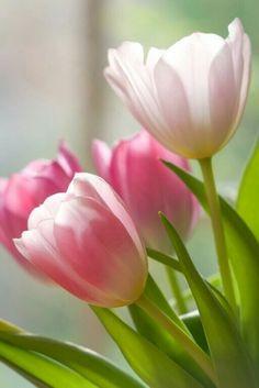 Earth/Tulip wallpaper id: 664766 - mobile abyss Purple Tulips, Tulips Flowers, Flowers Nature, Exotic Flowers, Amazing Flowers, Spring Flowers, Planting Flowers, Beautiful Flowers, Flowers Garden