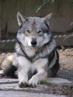 Saarloos Wolfdog.  A recognized breed.