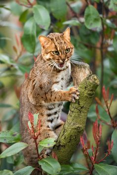 """""""The Owl looked up to the stars above, And sang to a small guitar, """"O lovely Pussy, O Pussy, my love, What a beautiful Pussy you are, You are, You are! What a beautiful Pussy you are!"""" ~Edward Lear Rusty Spotted Cat by Colin Langford Exotic Cat Breeds, Exotic Cats, Big Cats, Cats And Kittens, Cute Cats, Kitty Cats, Rusty Spotted Cat, Snowshoe Cat, Animal Magic"""