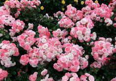 ethersmoon: Roses byKurumi Kotobuki - dhanyaline