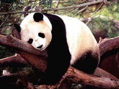 A Reserva Natural Sichuan é o paraíso dos pandas | Natureza - TudoPorEmail