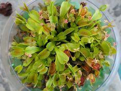 "flora-file: ""How to keep your venus fly trap happy (and alive) - by flora-file "" After my post about cutting the flower buds off when a venus fly trap flowers, I got some questions about how to care..."