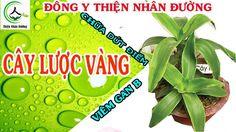 3 bài thuốc xóa sổ bệnh gan bằng cây lược vàng - đông y Thiện Nhân Đường