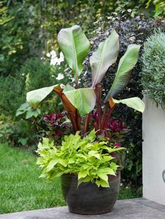 A colorful banana tree is underplanted with lime green lpomea and Celosia plumosa for an attractive summer patio display.